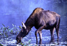 Cow Moose. Feeding on lily-pads in early morning misty light stock photos