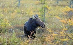 Cow moose Royalty Free Stock Photos