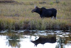 Cow moose Stock Photography