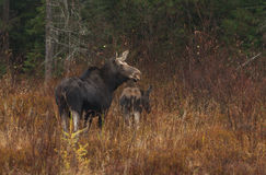 Cow Moose and calf grazing in a meadow in Algonquin Park. Cow Moose Alces alces and calf grazing in a meadow in Algonquin Park Stock Photography