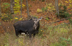Cow Moose grazing in a field in Algonquin Park Royalty Free Stock Images