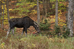 Cow Moose grazing in a field in Algonquin Park. Cow Moose Alces alces grazing in a field in Algonquin Park Stock Photos
