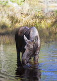 Cow Moose grazing in a pond in Algonquin Park. Cow Moose Alces alces grazing in a pond in Algonquin Park Royalty Free Stock Images