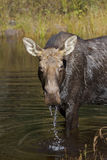 Cow Moose grazing in a pond in Algonquin Park. Cow Moose Alces alces grazing in a pond in Algonquin Park Royalty Free Stock Photos