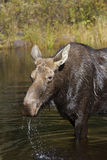 Cow Moose grazing in a pond in Algonquin Park. Cow Moose Alces alces grazing in a pond in Algonquin Park Stock Image