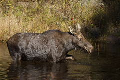 Cow Moose grazing in a pond in Algonquin Park. Cow Moose Alces alces grazing in a pond in autumn in Algonquin Park Royalty Free Stock Photo