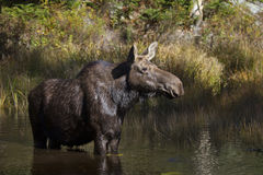 Cow Moose grazing in a pond in Algonquin Park royalty free stock photography