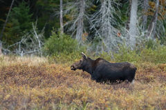 Cow Moose grazing in a meadow in Algonquin Park. Cow Moose Alces alces grazing in a meadow in autumn in Algonquin Park Stock Photos