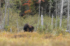 Cow Moose Alces alces looking over her shoulder royalty free stock photo