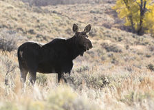 Cow moose backlite with rim light in sagebrush meadow during aut Royalty Free Stock Photography