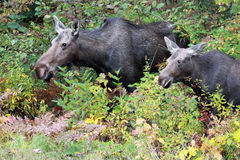 Cow Moose & Calf Royalty Free Stock Image