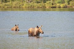 Cow moose and calf Royalty Free Stock Images
