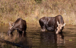 Cow moose and calf Stock Image