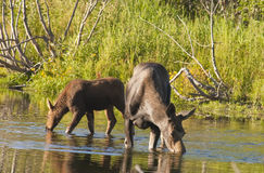 Cow Moose and calf feeding Royalty Free Stock Image