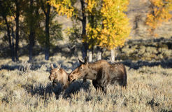 Cow moose and calf at sunrise in fall. A cow moose and her calf walk through the sagebrush at sunrise in Grand Teton national park.  Golden fall foliage in the Stock Photography