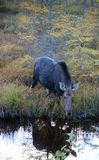 Cow moose in Canada. Moose cow in Algonquin Provincial Park, Canada Royalty Free Stock Image