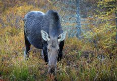 Cow moose in Canada. Moose cow in Algonquin Provincial Park, Canad Stock Images