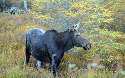 Cow moose in Canada. Moose cow in Algonquin Provincial Park, Canad Stock Photography