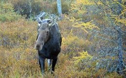 Cow moose in Canada. Moose cow in Algonquin Provincial Park, Canada Stock Images
