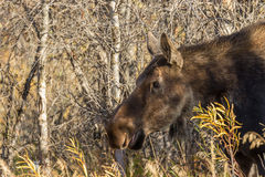 Cow Moose Close Up Stock Photography