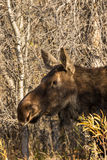 Cow Moose Close Up in Fall Stock Image