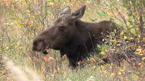 Cow Moose Close Up stock footage