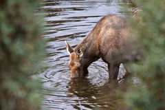 Cow moose drinking from Yukon stream Royalty Free Stock Photo