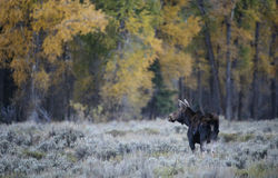 Cow moose fall landscape. A cow moose pauses in the sagebrush in Grand Teton national park.  Golden fall foliage in the background Royalty Free Stock Images