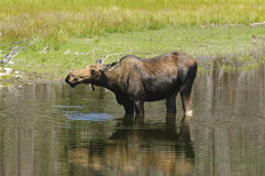Cow Moose feeding. Solitary cow moose feeding in a pond in the Teton National Park Stock Images