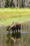 Cow Moose feeding. Solitary cow moose feeding in a pond in the Teton National Park Royalty Free Stock Photo