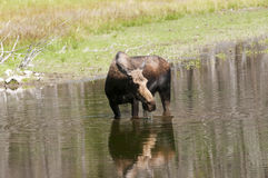 Cow Moose feeding Stock Photos