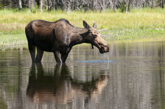 Cow Moose feeding. Closeup of a feeding Cow moose in the Teton National Park in Wyoming Royalty Free Stock Photography