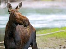 Cow Moose grazing Stock Image