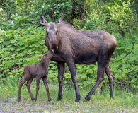 Cow moose and its calf Royalty Free Stock Images