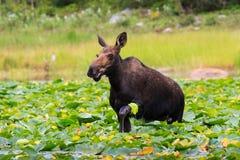 Cow Moose in Lake. Shiras cow moose in the Rocky Mountains of Colorado stock photos