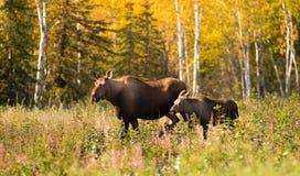 Cow Moose leads Her Calf Across Road Near Denali Alaska Stock Images