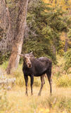 Cow Moose in Meadow Fall Royalty Free Stock Photography