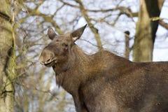 Cow moose portrait Stock Photo