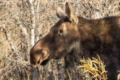 Cow Moose Portrait Stock Images