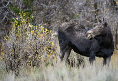 Cow moose portrait. A cow moose poses in a serene scene in Grand Teton national park Stock Photo