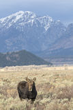 Cow moose in sagebrush meadow with mountains in the background Stock Photography