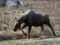 Cow Moose Striding Through Winter Grass Stock Images