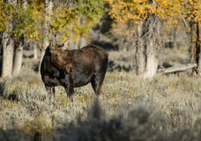 Cow moose at sunrise. A cow moose walks through the sagebrush flats near the Gros Ventre campground in Grand Teton national park.  Golden fall foliage in the Royalty Free Stock Images