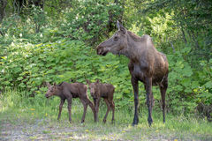 Cow moose and twin calves Stock Image