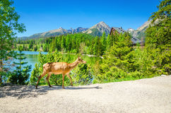 Cow moose walks the path beside a mountain lake royalty free stock photography