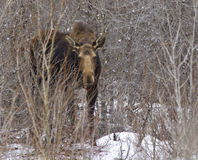 Cow moose in willows. A cow moose foraging for food in the willows royalty free stock image