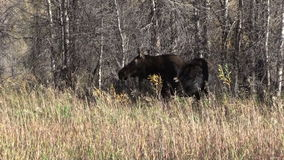 Cow Moose Zoom in stock footage