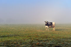Cow in the morning Royalty Free Stock Photos