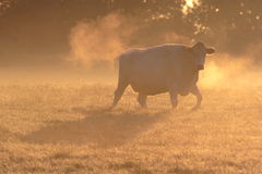 Cow in morning frosty mist. Stock Photography