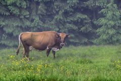 Cow in the morning grazes on the village pasture. Carpathians stock photo